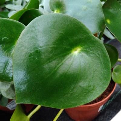 Peperomia polybotrya