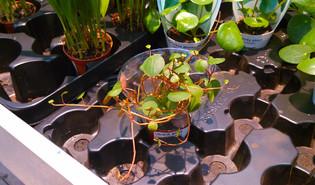 Zwanenkruid (Peperomia rotundifolia)