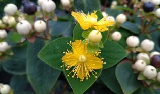 Hertshooi (Hypericum spp.)