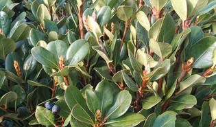 Indische meidoorn (Rhaphiolepis indica)