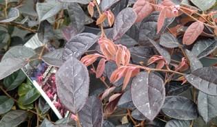 Heksenstruik (Loropetalum chinense)