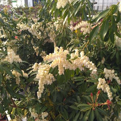 Rotsheide (Pieris japonica)