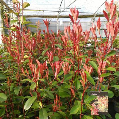 Glansmispel (Photinia × fraseri)