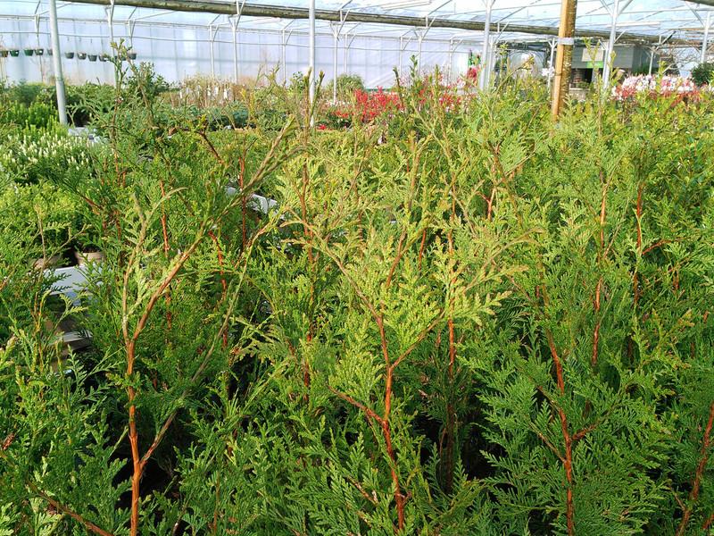 Reuzenlevensboom (Thuja plicata)