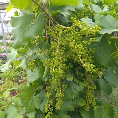 Druivelaar (Vitis vinifera)