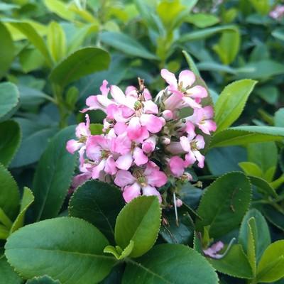 Escallonia spp.