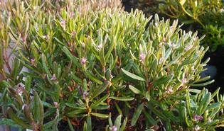 Rotsheide (Andromeda polifolia)