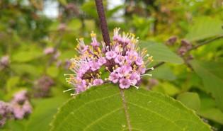 Schoonvrucht (Callicarpa)