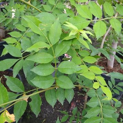 Tandpijnboom (Zanthoxylum americanum)