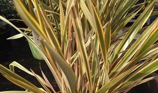 Nieuw-Zeelands vlas (Phormium tenax)