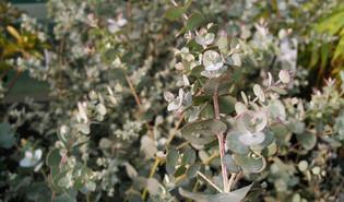 Cidergomboom (Eucalyptus gunnii)