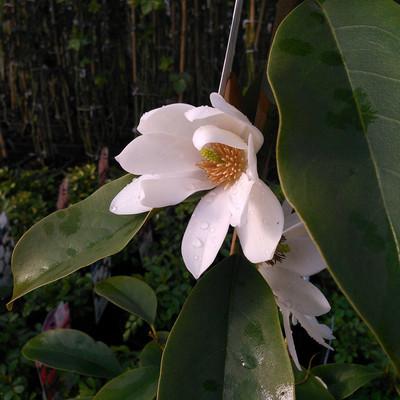 Tulpenboom (Magnolia)