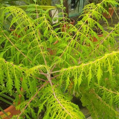 Fluweelboom (Rhus typhina)