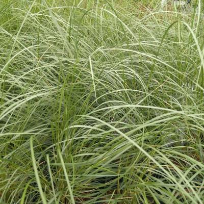 Duingras (Ammophila arenaria)