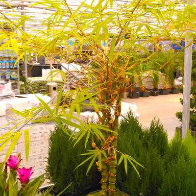 Boeddhabamboe (Bambusa ventricosa)