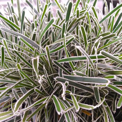 Woestijnzegge (Ficinia truncata)