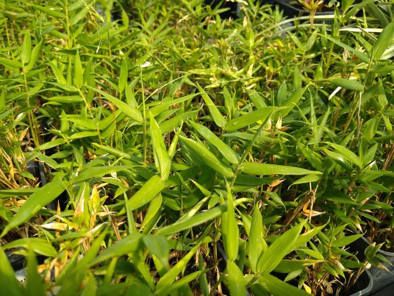 Dwergbamboe (Pleioblastus fortunei)