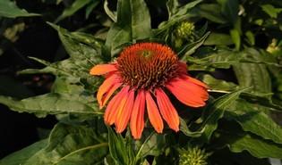 Zonnehoed (Echinacea spp.)