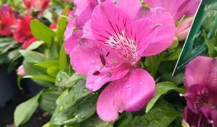Incalelie (Alstroemeria spp.)
