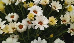 Marokkaanse margriet (Rhodanthemum spp.)