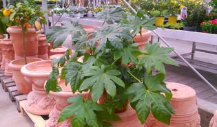 Vingerplant (Fatsia japonica)