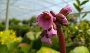 Schoenlappersplant (Bergenia crassifolia)