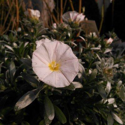 Zilverwinde (Convolvulus cneorum)