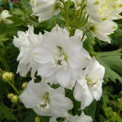 Ridderspoor (Delphinium spp.)