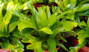 Vogelnestvaren (Asplenium nidus)
