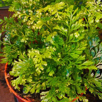 Konijnenpootvaren (Davallia solida var. fejeensis)