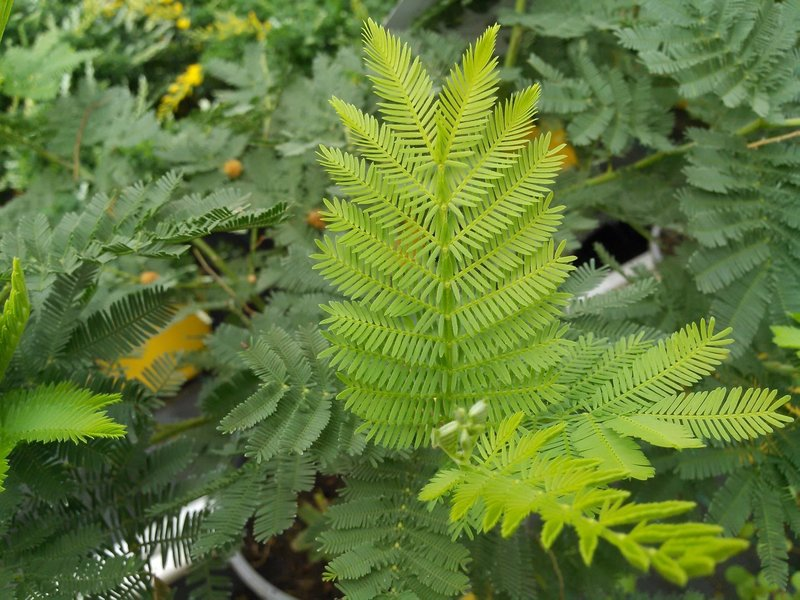 Zilveracacia (Acacia dealbata)