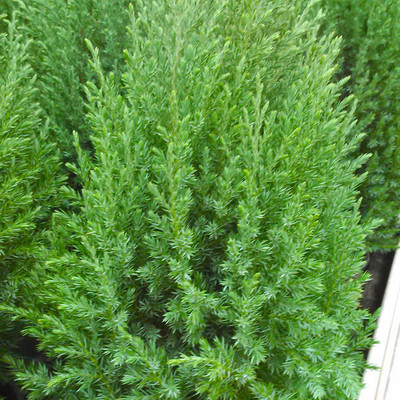Jeneverbes (Juniperus)
