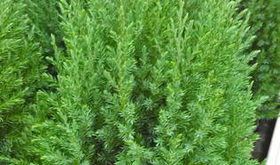Jeneverbes (Juniperus spp.)