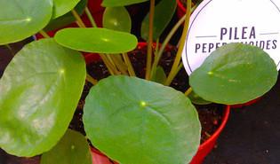 Pannenkoekenplant (Pilea peperomioides)