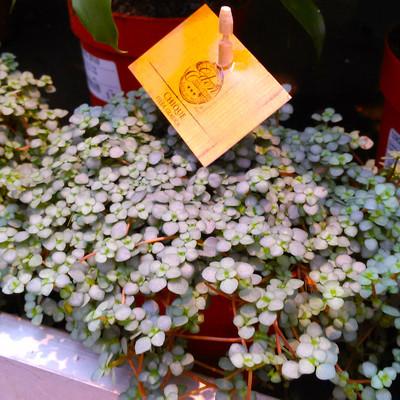 Kanonplant (Pilea libanensis)