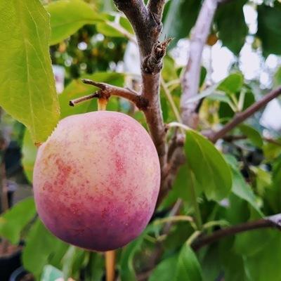 Pruimelaar (Prunus domestica)
