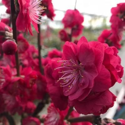 Perzikelaar (Prunus persica)