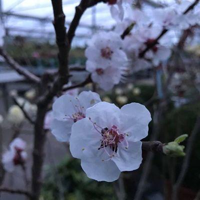 Japanse kerselaar (Prunus serrulata)