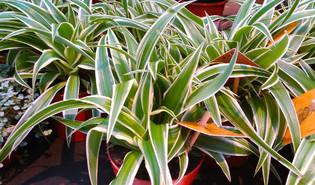 Graslelie (Chlorophytum comosum)