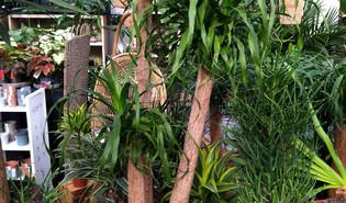 Olifantspoot (Beaucarnea recurvata)