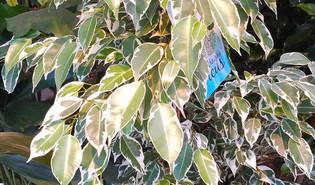 Treurvijg (Ficus benjamina)