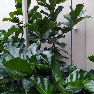 Vioolbladplant (Ficus lyrata)