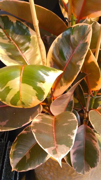 Indische rubberboom (Ficus elastica)