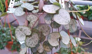 Chinees lantaarnplantje (Ceropegia linearis ssp. woodii)
