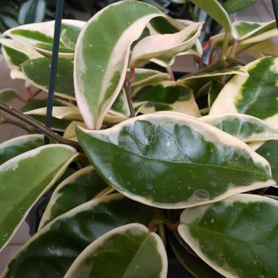 Grote wasbloem (Hoya carnosa)