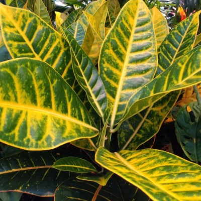 Wonderstruik (Codiaeum variegatum)