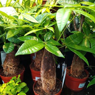 Watercacao (Pachira aquatica)
