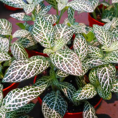 Mozaïekplant (Fittonia albivenis)