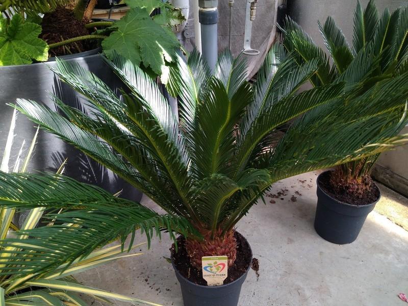 Cycaspalm (Cycas revoluta)