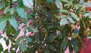 Chinese kamerboom (Heteropanax chinensis)